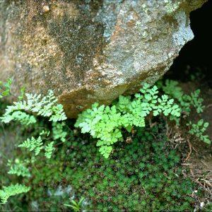 Cheilanthes austrotenuifolia flora ALA source