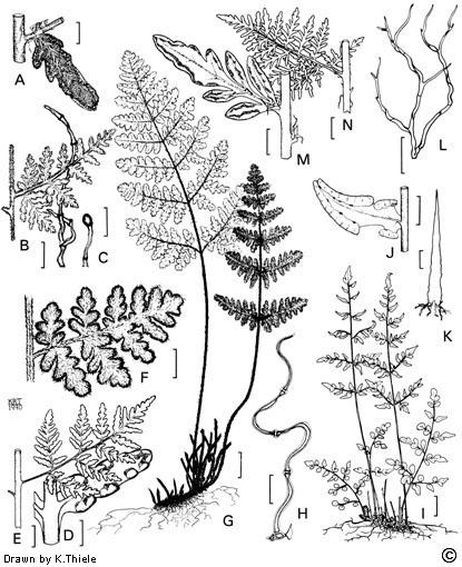 Cheilanthes distans flora ALA source