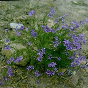 Cheiranthera linearis flora ALA source