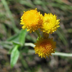 Chrysocephalum apiculatum flora ALA source