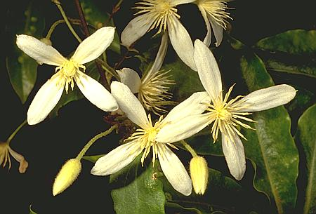 Clematis aristata flora ALA source