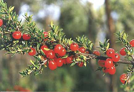 Coprosma quadrifida flora ALA source
