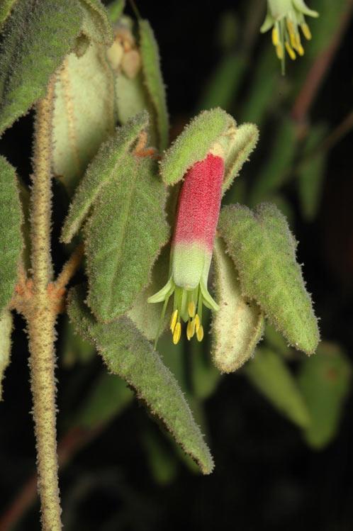 Correa reflexa var reflexa flora ALA source