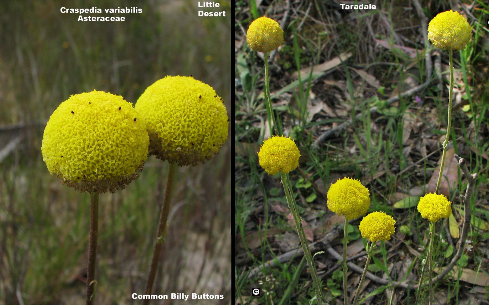 Craspedia variabilis flora ALA source