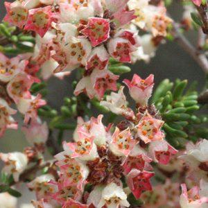 Cryptandra amara flora ALA source