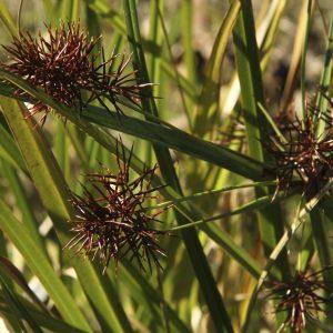 Cyperus lucidus flora ALA source