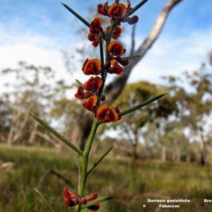 Daviesia genistifolia flora ALA source