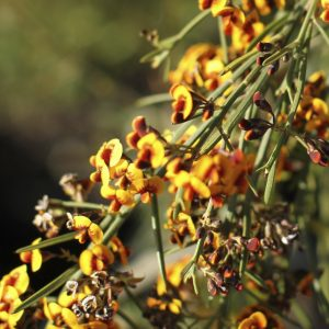 Daviesia leptophylla flora ALA source