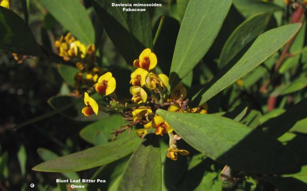 Daviesia mimosoides flora ALA source