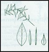 Daviesia ulicifolia (outline)