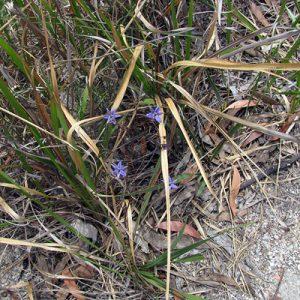 Dianella longifolia flora ALA source