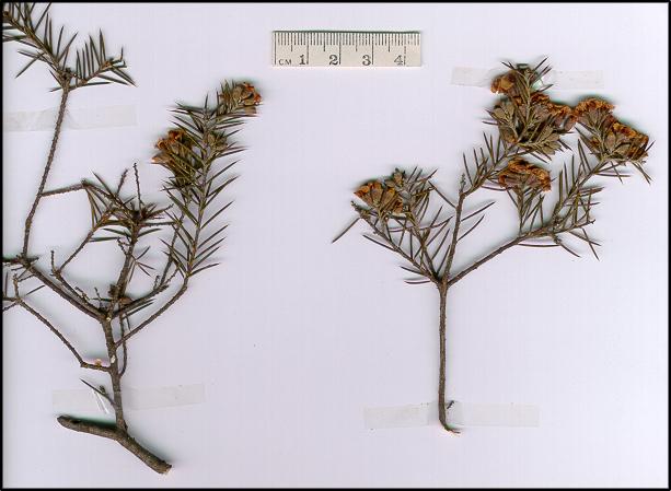 Dillwynia juniperina (base)