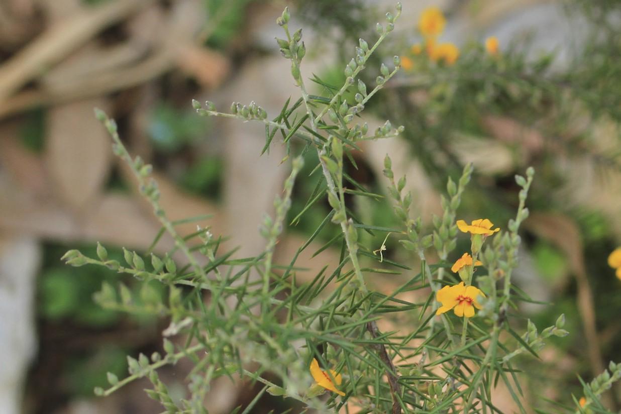 Dillwynia juniperina flora ALA source