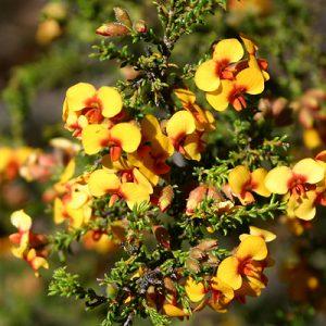 Dillwynia phylicoides flora ALA source