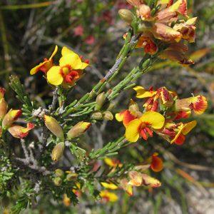 Dillwynia sericea flora ALA source