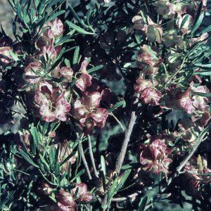 Dodonaea viscosa subsp angustissima flora ALA source