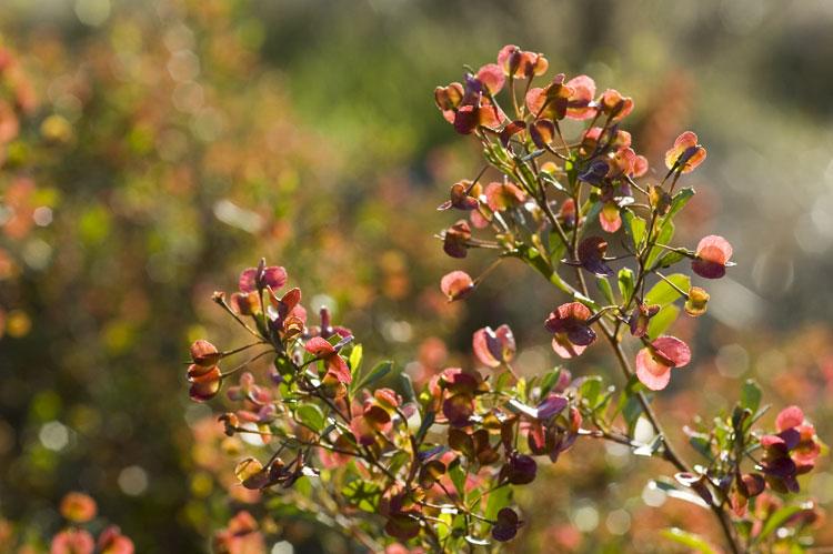 Dodonaea viscosa subsp cuneata flora ALA source
