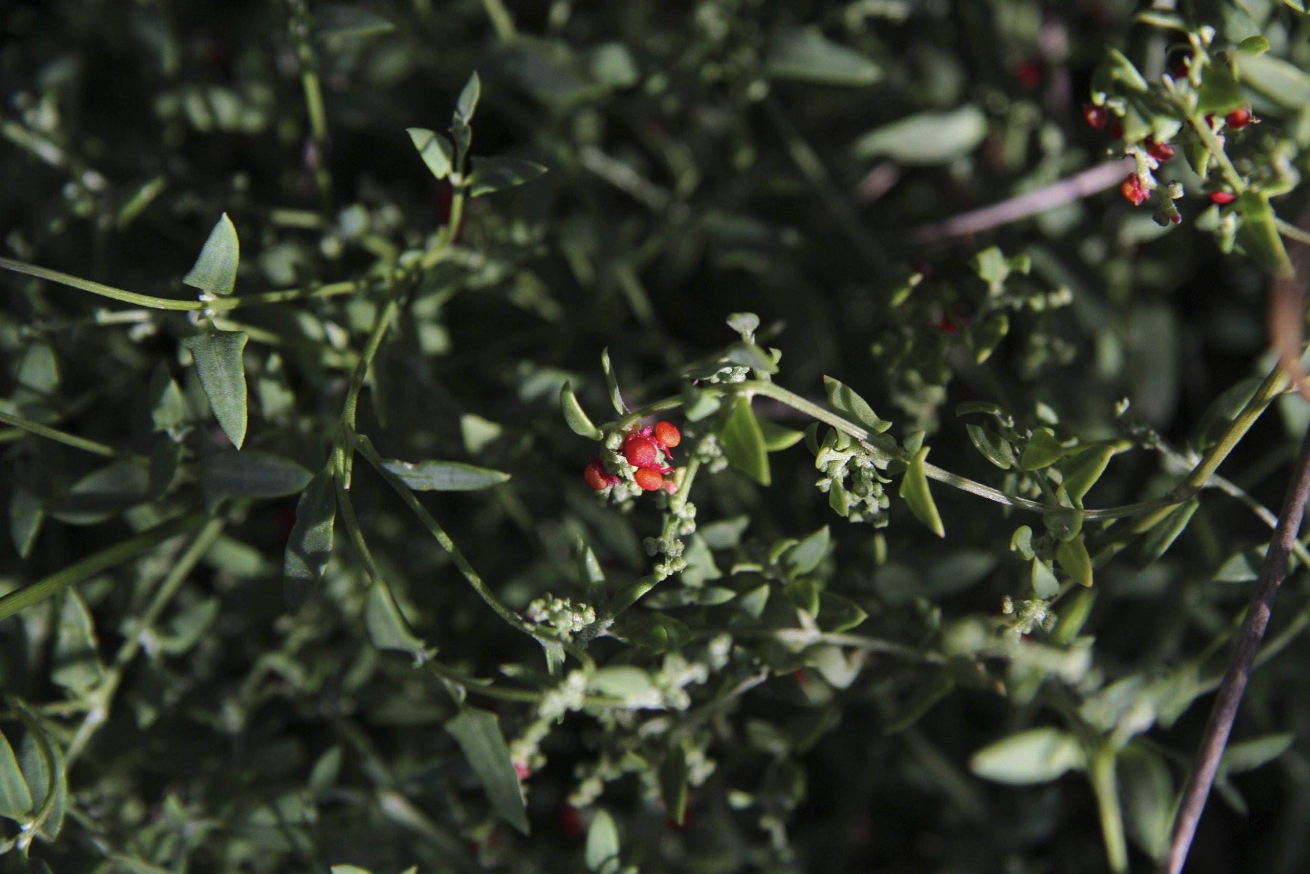 Einadia nutans flora ALA source