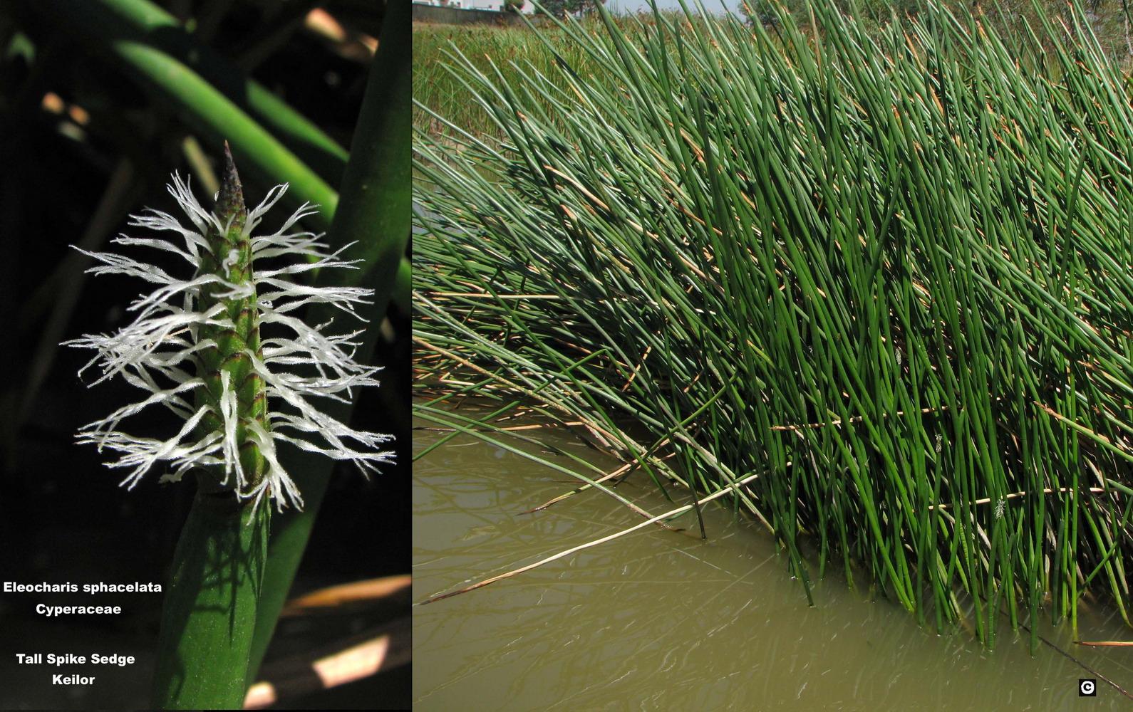Eleocharis sphacelata flora ALA source