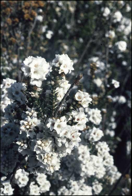 Epacris breviflora flora ALA source