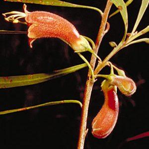 Eremophila longifolia flora ALA source