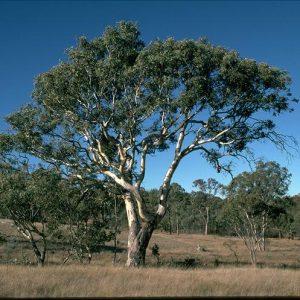 Eucalyptus blakelyi flora ALA source