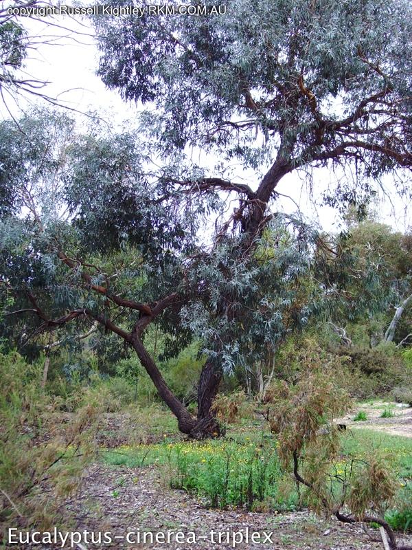 Eucalyptus cinerea flora ALA source