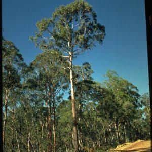 Eucalyptus delegatensis flora ALA source
