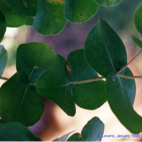 Eucalyptus goniocalyx flora ALA source