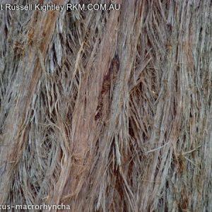 Eucalyptus macrorhyncha flora ALA source