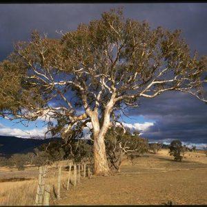 Eucalyptus melliodora flora ALA source