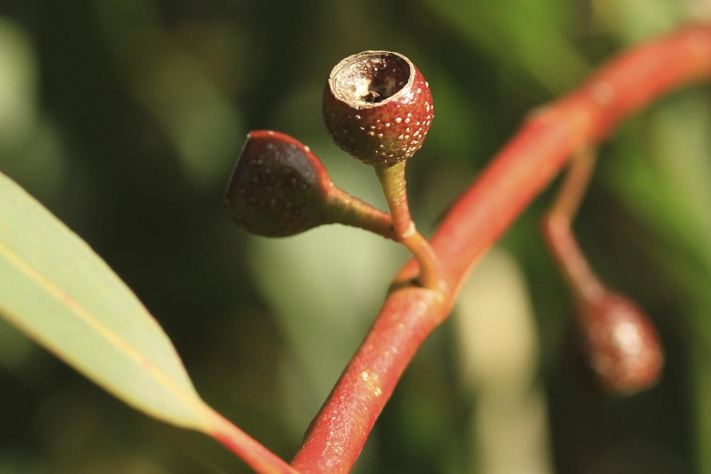 Eucalyptus pauciflora flora ALA source