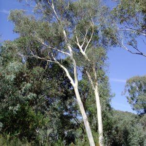 Eucalyptus rossii flora ALA source