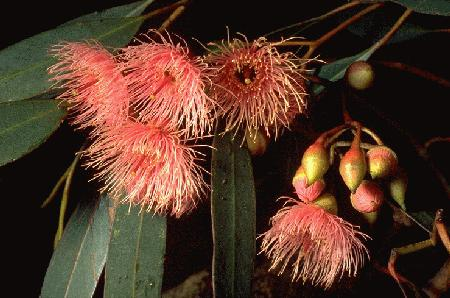 Eucalyptus sideroxylon flora ALA source