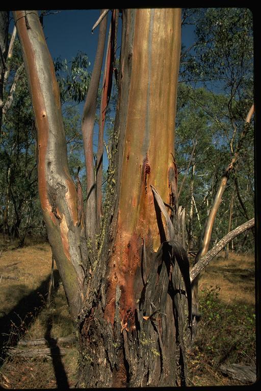 Eucalyptus stellulata flora ALA source