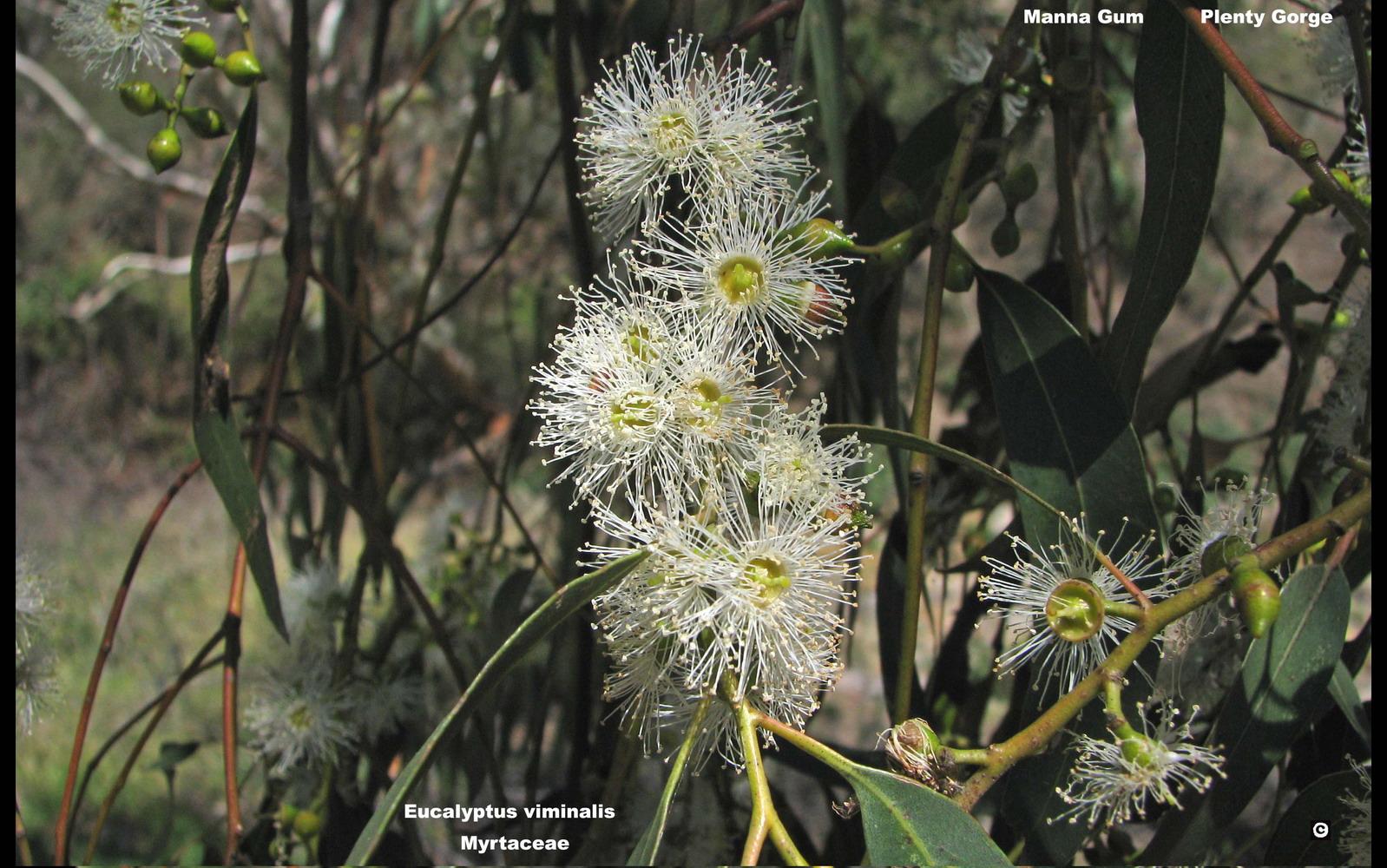 Eucalyptus viminalis flora ALA source