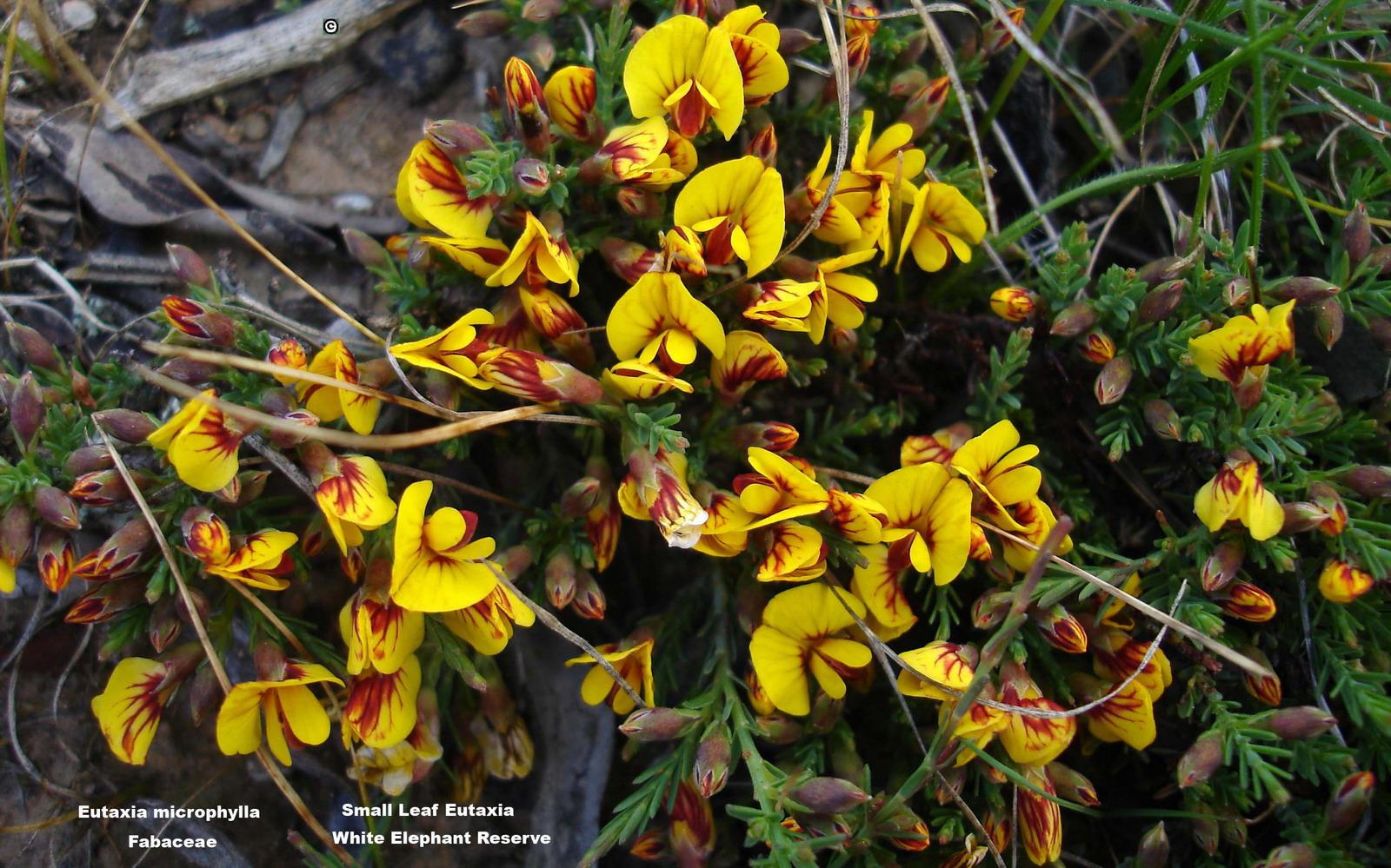 Eutaxia microphylla flora ALA source