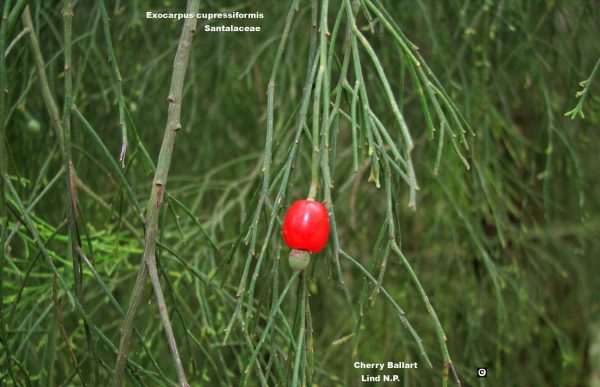 Exocarpos cupressiformis flora ALA source