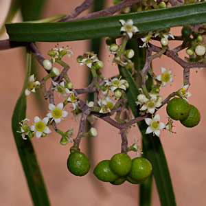 Geijera parviflora flora ALA source