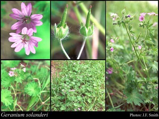 Geranium solanderi flora ALA source