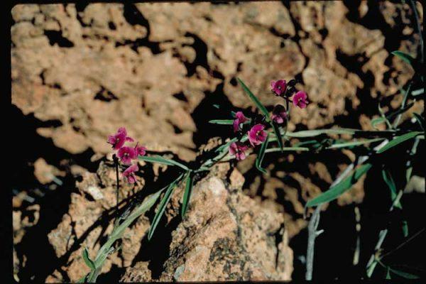 Glycine canescens flora ALA source