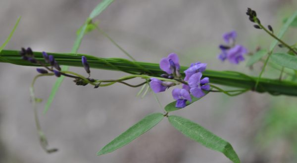 Glycine clandestina flora ALA source
