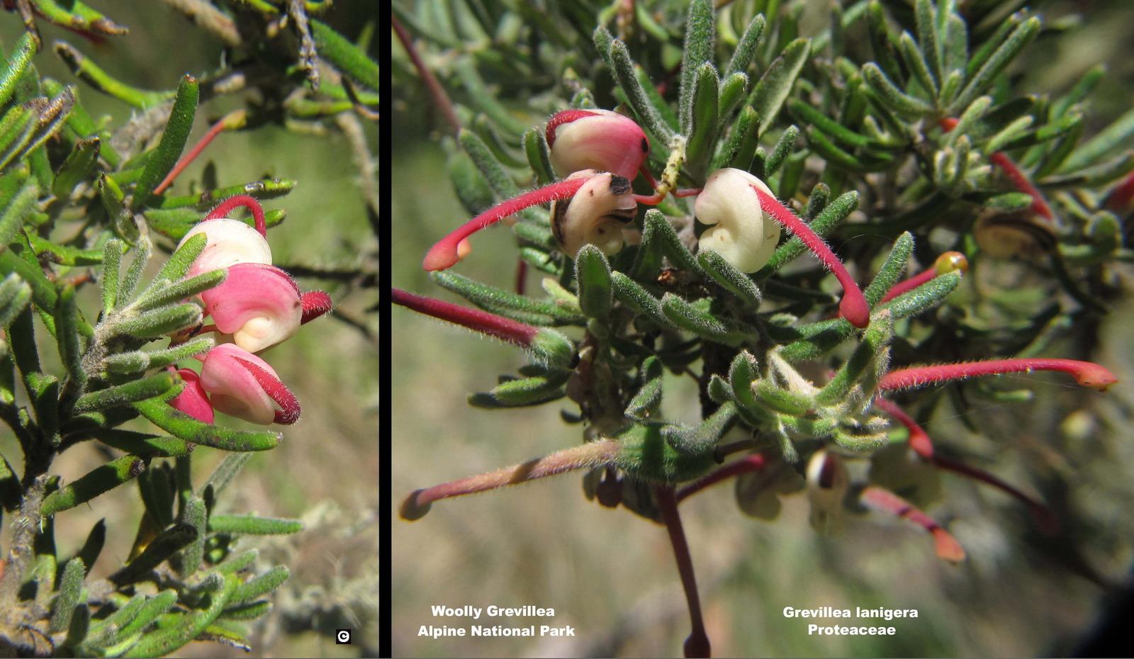 Grevillea lanigera flora ALA source
