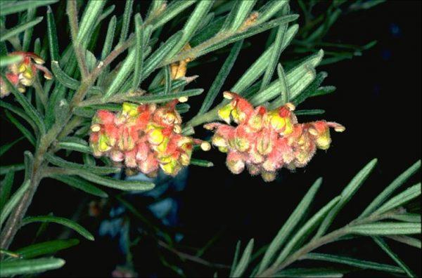 Grevillea polybractea flora ALA source