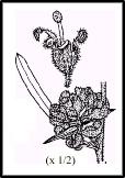 Grevillea polybractea (outline)