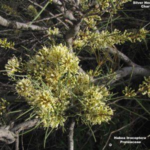 Hakea leucoptera flora ALA source