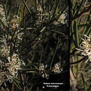 Hakea microcarpa flora ALA source