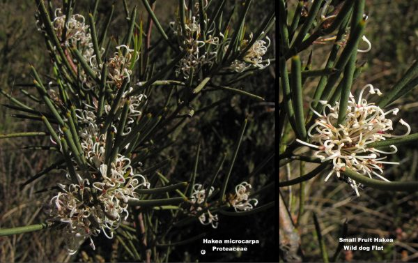 Hakea microcarpa flora ALA source