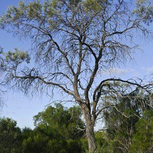 Hakea tephrosperma flora ALA source