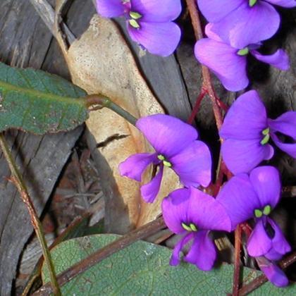 Hardenbergia violacea flora ALA source